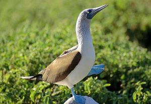 blue-footed-boobie